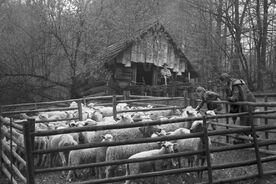 5_Ovce valašky v ohradě před kolibou, 1980 / Wallachian sheep in an enclosure in front of the shepherd's hut, 1980